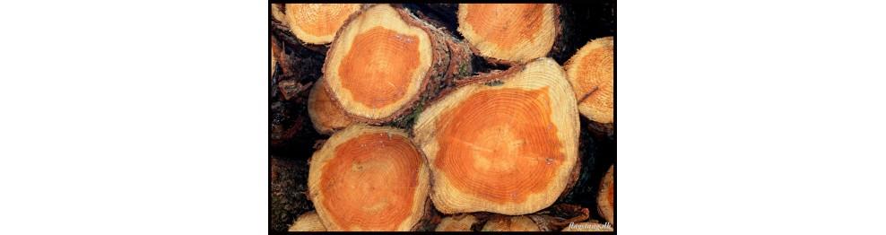 Lærke træ